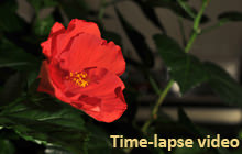 Hibiscus blooming, Time-lapse - Panorama 360°